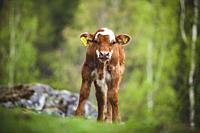 Young spotted calf standing in Swedish nature.