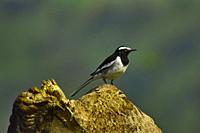 White-browed wagtail, Motacilla maderaspatensis standing on driftwood, Pune, Maharashtra, India.