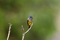 Grey-headed canary-flycatcher, Culicicapa ceylonensis, Chopta, Uttarakhand, India.