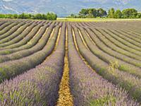lavender, lavandula, field, Valensole Plateau, Provence, France.