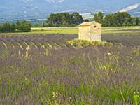 derelict building in a lavender, lavandula, field, Valensole Plateau, Provence, France.