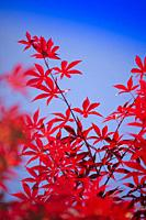 The bright color of the red maple leaves flung against the blue sky.