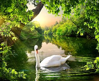 Evening on the river in the forest and swan.