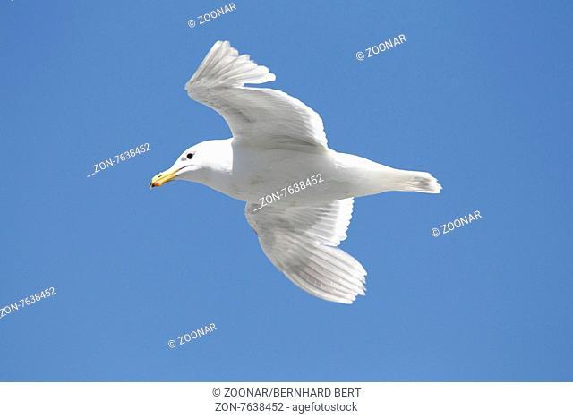Beringmöve,glaucous winged gull,im Flug