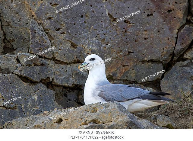 Northern fulmar / Arctic fulmar (Fulmarus glacialis) sitting on rock ledge in sea cliff