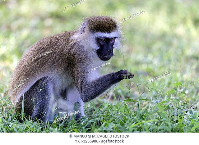 Vervet monkey exmining grass stem in Great Rift valley, Kenya
