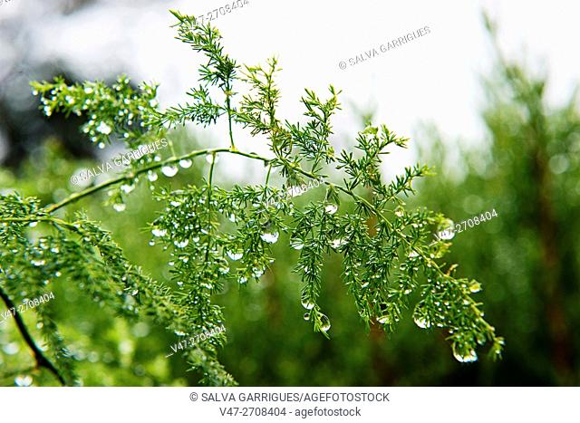 Sprig of Asparagus plumosus with drops of water after rain