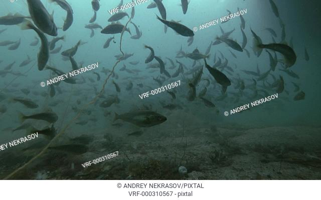 school of Black cod fish or Smallscaled Cod (Notothenia microlepidota) swimming underwater in shallow water near shore