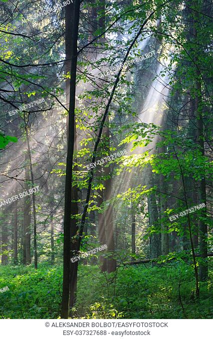 Sunny morning in the forest with hornbeam branch illuminated, Bialowieza Forest, Poland, Europe