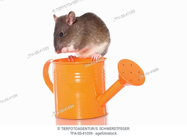 fancy rat and watering can