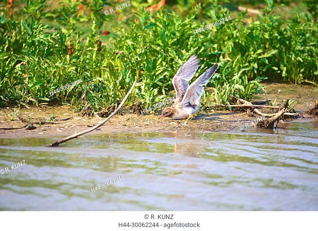 Common Tern, Sterna hirundo, Sternidae, Tern, juvenile, downy young, wing flapping, bird, animal, Oostvaarderasplassen, nature reserve, wetland, Lelystad