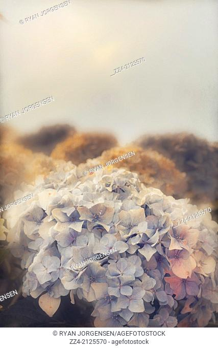 Soft vintage photo of delicate flowers growing from an autumn hedge in the Australian countryside. Shabby pastel copyspace for masthead