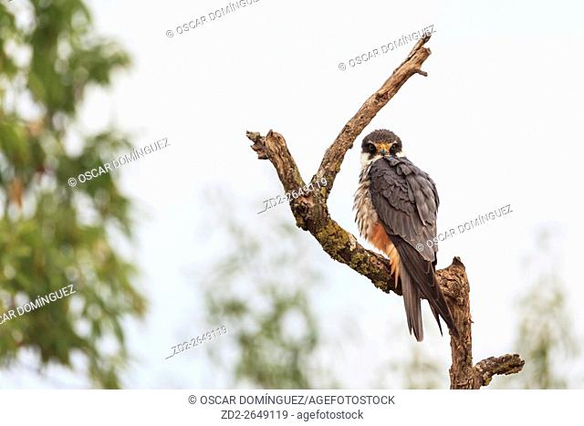 Eurasian Hobby (Falco subbuteo) perched on branch. Lleida province. Catalonia. Spain