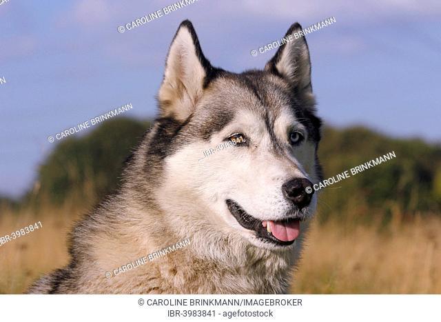 Siberian Husky, 4 years