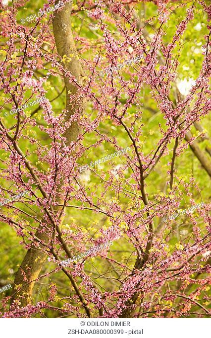 Redbud tree in full floom