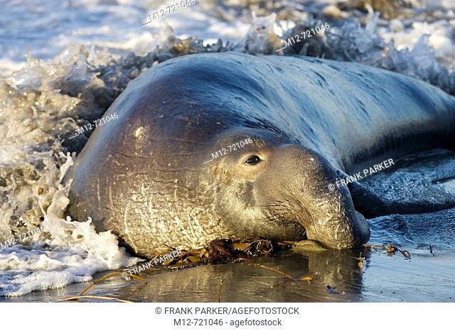 Bull Elephant Seal on San Simeon Beach, California, USA