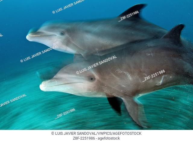 bottlenose dolphin (tursiops truncatus) captive, Cozumel Mexico