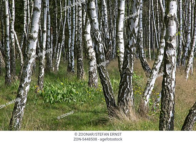 Birkenwald / Birch forest / Betula