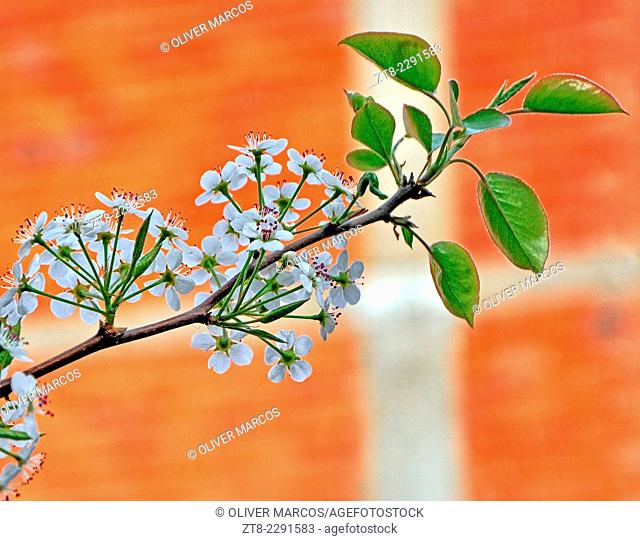Photograph of a branch of an apple tree in bloom, blurring the background with a larger diaphragm aperture than usual, in this case f / 5.7