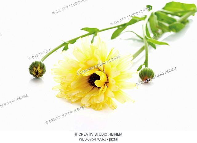 Single Marigold flower, Calendula Officinalis, lose-up