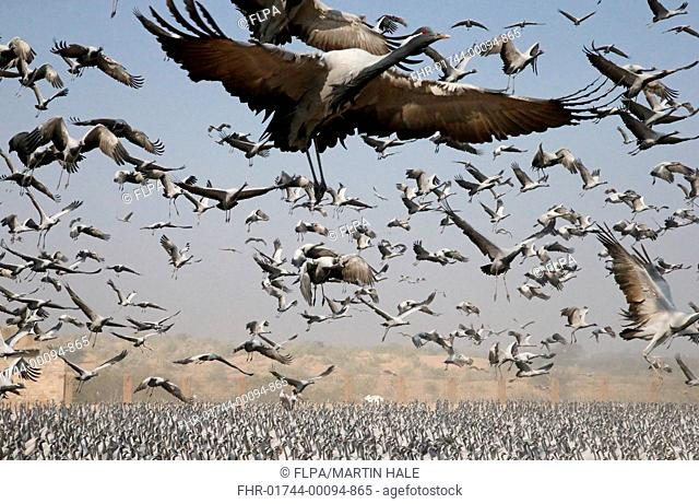 Demoiselle Crane (Anthropoides virgo) flock, in flight, taking off from feeding area, Khichan, Jodhpur District, Thar Desert, Rajasthan, India, February