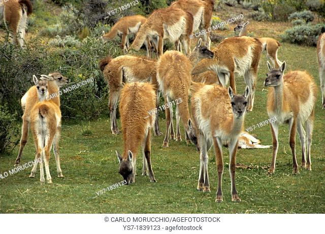 Guanaco herd at Parque Nacional Torres del Paine  Guanaco, Lama guanicoe is a camelid native to South America, Patagonia, Chile, South America