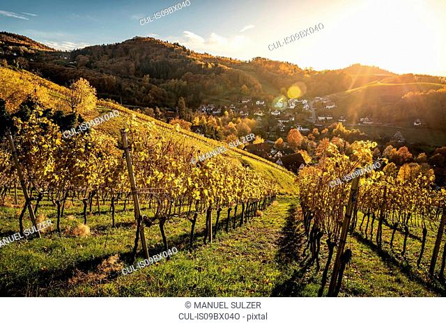 Vineyard near Sasbachwalden, black forest, Baden-Wurttemberg, Germany