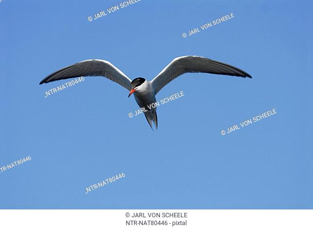A common tern against a blue sky, Sweden