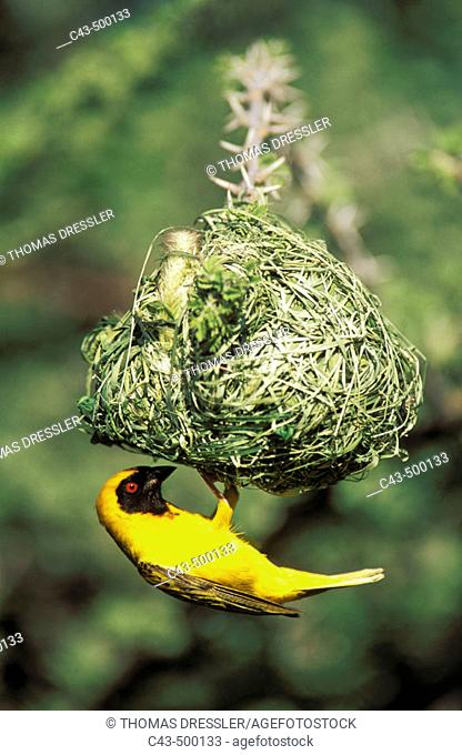 Masked Weaver (Ploceus velatus); the male has finished with building the nest and now tries to attract a female. Only breeding males develop the black mask and...