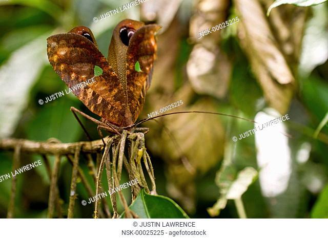 Katydid (Pterochroza sp.) male in defensive posture, Ecuador, Napo, San Jose de Payamino