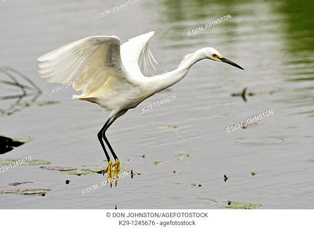 Snowy egret Egretta thula Hunting in slough