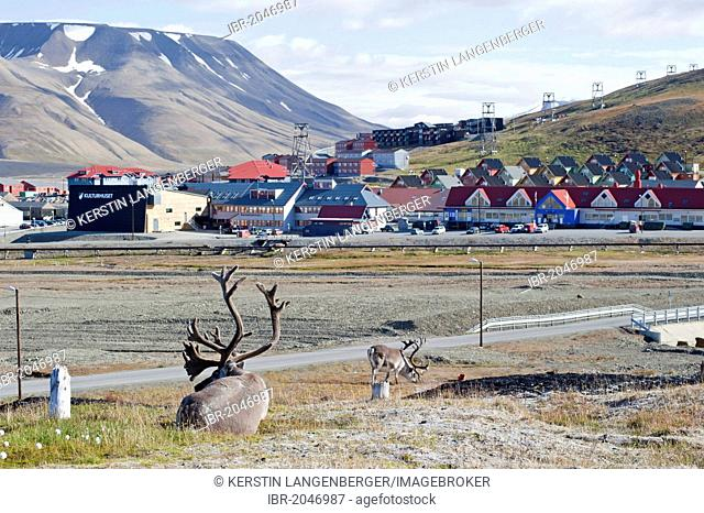 Svalbard reindeer (Rangifer tarandus platyrhynchus) with town of Longyearbyen at back, Spitsbergen, Svalbard, Norway, Scandinavia, Europe