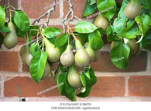 Common Pear Pyrus communis 'Conference' cordon, ripening fruit, growing in walled garden, England, august