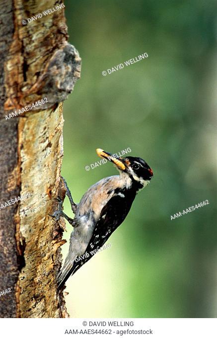 Male Hairy Woodpecker w/ bug (Picoides villosus) Lee Vining Canyon, CA
