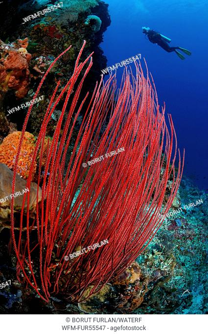 Coral Reef with Whip Coral, Ellisella ceratophyta, Alor, Indonesia