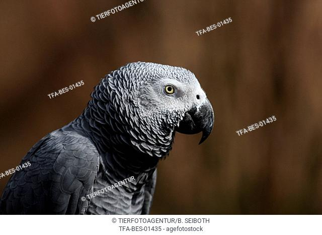 grey parrot portrait