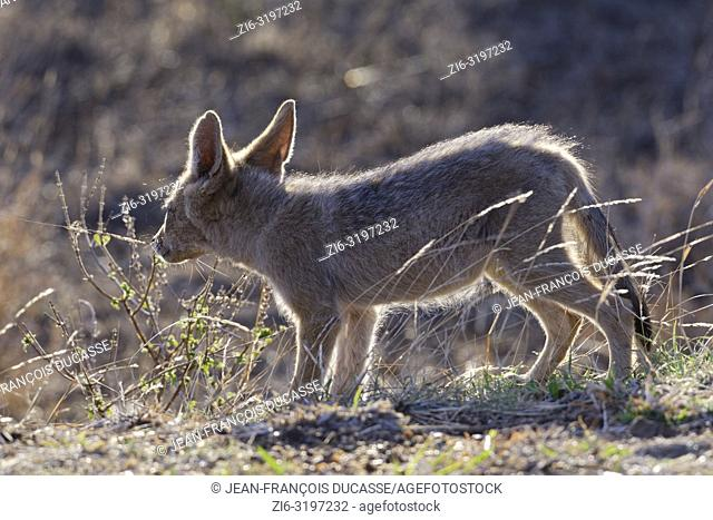Black-backed jackal (Canis mesomelas), cub, against the light, observing the surroundings, Kruger National Park, South Africa, Africa