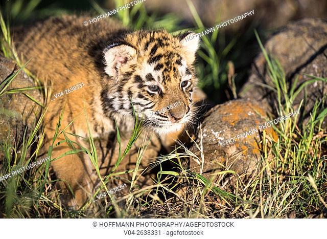 Cute little tiger cub (Panthera tigris altaica), captive, California, USA