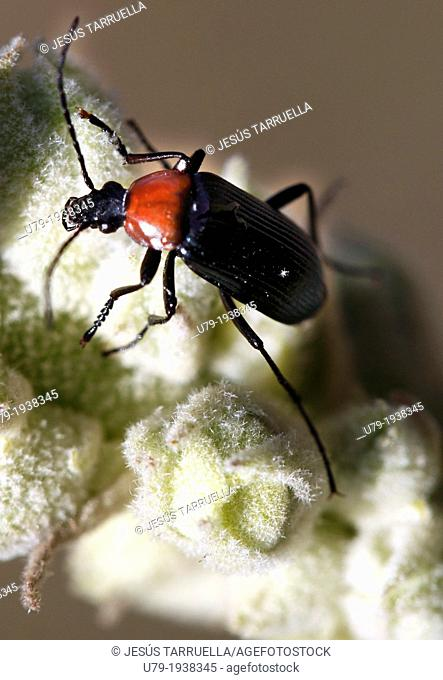 Beetle (Heliotaurus ruficolis)