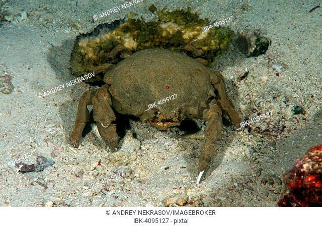 Sponge Crab (Lauridromia dehaani), Bohol Sea, Philippines
