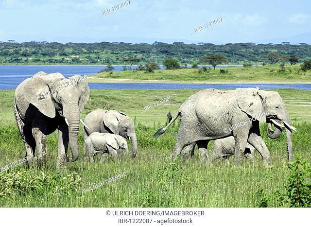 African Bush Elephant (Loxodonta africana) family grazing at Lake Ndutu, Ngorongoro Conservation Area, Tanzania, Africa