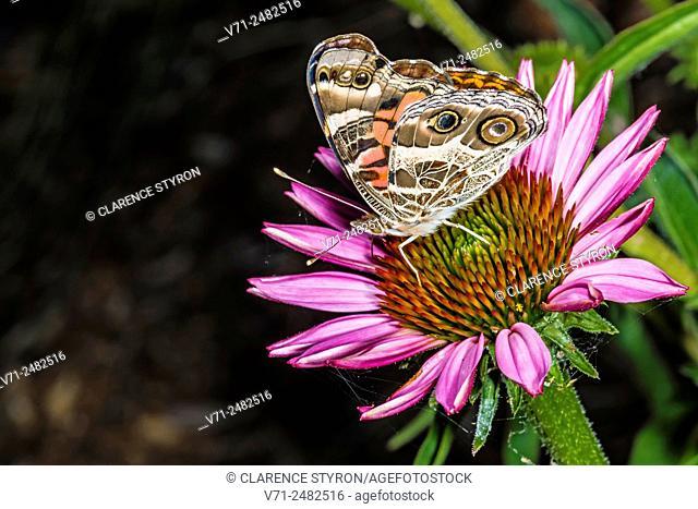American Painted Lady Butterfly (Cynthia virginiensis) Feeding on Purple Cone-flower (Echimacea purpurea)