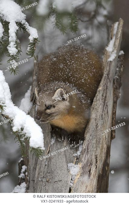 American Pine Marten ( Martes americana ) in winter, covered with sonw, sitting on top of a broken tree, Yellowstone NP, USA