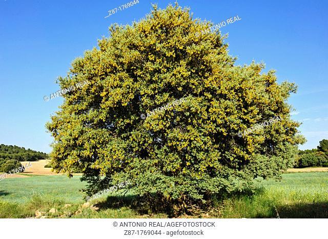 Flowering Holm Oak (Quercus ilex)  Almansa  Albacete