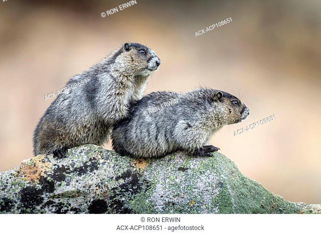 Two Hoary Marmots (Marmota caligata), Jasper National Park, Alberta, Canada