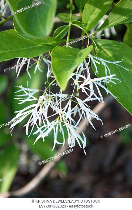 A white Fringe Tree in bloom