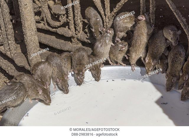 Asia, India, Rajasthan, Deshnok, Rats (reincarnated poets, bards and storytellers) at the Temple of Karni Mata (over 600 years), drink milk offered by pilgrims