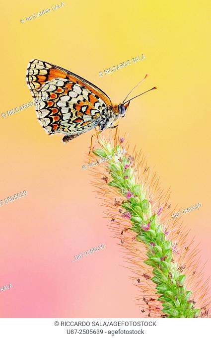 Italy, Lombardy, Countryside of Cremona Province, Butterfly, Melitaea. . .
