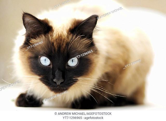 Piercing blue eyes of 'Ragdoll' breed of domestic cat