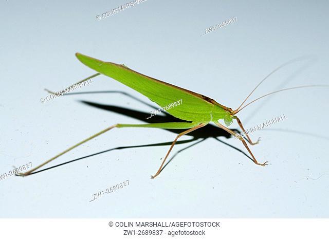 Katydid (aka Bush Cricket) (Orthoptera order, Tettigoniidae family), Klunkung, Bali, Indonesia